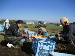 農業実習(こんにゃく芋収穫)